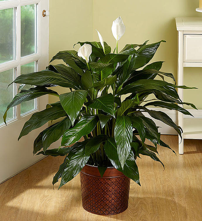 Large Peace Lily Floor Plant on peace lily family plant, chinese evergreen house plant, droopy peace lily plant, funeral peace lily plant, peace lily potted plant, peace lily plant benefits, classic peace lily plant, black bamboo potted plant, white and green leaves house plant, croton house plant, peace plant brown leaves, dragon plant, holly house plant, zamiifolia house plant, problems with peace lily plant, weeping fig house plant, marginata house plant, artificial bamboo house plant, black gold lily plant, pineapple plant house plant,