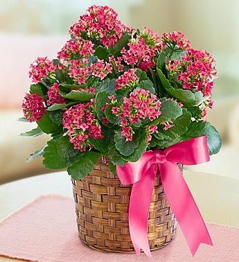 Kalanchoe Plant A Bella Mia Flowers